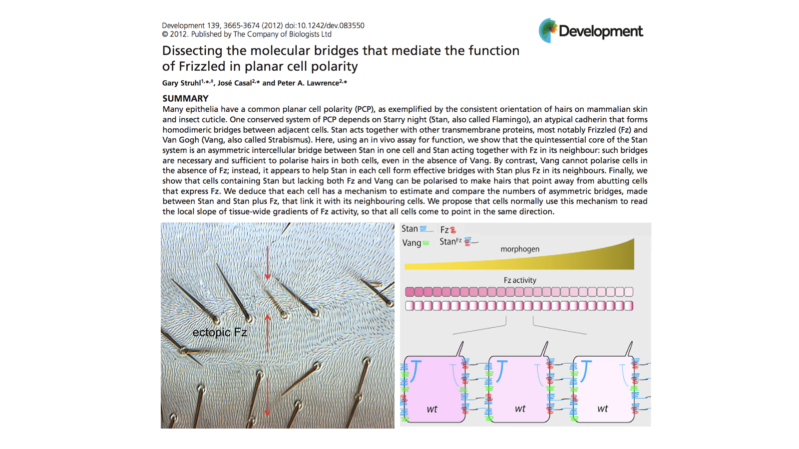 Dissecting the molecular bridges that mediate the function of Frizzled in planar cell polarity